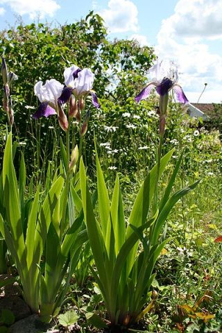Iris allmogeblommor